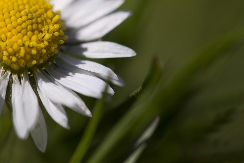 Leucanthemum (Marguerite)